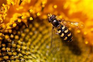 HD Bee on Sunflower Closeup Image