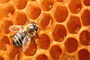 Honey Bee Desktop Image