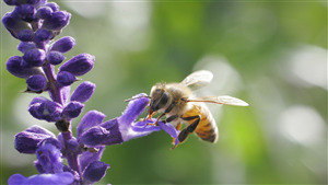 Honey Bee in Purple Flower