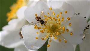 Honey on Beautiful White Multiflora Rose