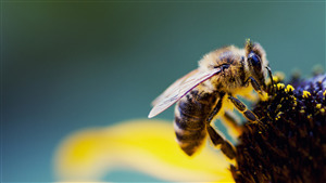 Insect Bee Desktop Background Picture