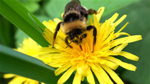 Photo of Black Honey Bee on Yellow Flower