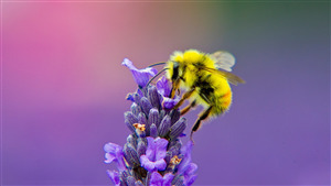 Yellow Honey Bee on Lavender 4K Photo