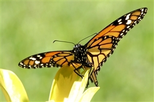Beautiful Yellow Butterfly on Yellow Flower Photos
