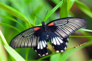 Black Butterfly HD Wallpaper