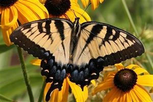 Black and Brown Butterfly on Yellow Flower