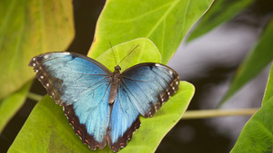 Blue Butterfly on Leave 4K Wallpaper