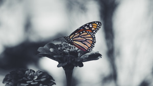 Butterfly 5K Black and White Desktop Background Wallpaper