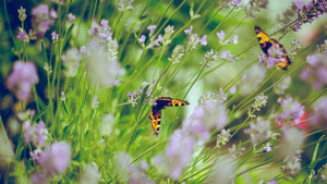 Butterfly On Lavender 5K Wallpaper