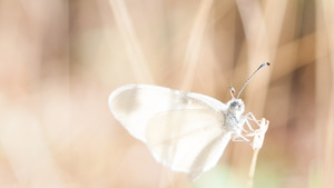 Butterfly White Wing 4K Wallpaper