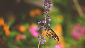 Butterfly on Lavender Flowers 5K Wallpaper