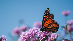 Butterfly on Pink Flower Nature 4K Wallpaper