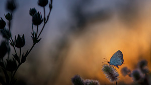 Butterfly on Plant at Sunset Time Nature 4K Wallpaper
