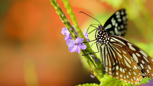 Butterfly on Purple Flower 4K Wallpaper