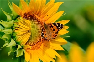 Butterfly on Sunflower HD Photo