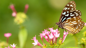 Butterfly on Top of Pink Flowers