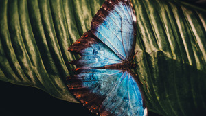 Charming Blue Butterfly on Leave
