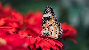 Colorful Butterfly on Red Flower 4K Wallpaper