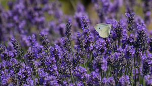 Cute Butterfly Baby on Lavender