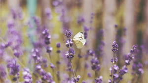 Cute White Butterfly on Lavender Flowers 5K Wallpaper