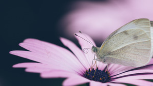 Cute White Butterfly on Pink Flower 4K Wallpaper