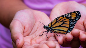 Indian Butterfly on Child Hand