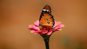 Insect Butterfly on Pink Flower 5K Wallpaper