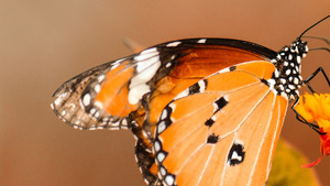 Orange Butterfly Marvellous Wallpaper