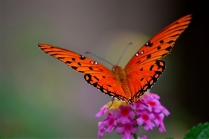 Orange Butterfly Photo