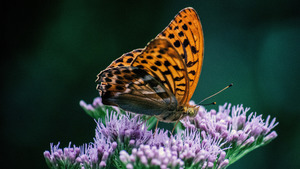 Orange Butterfly on Purple Flower 4K Wallpaper