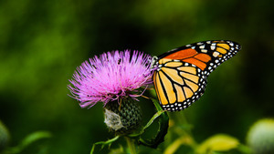Orange and Black Butterfly on Purple Flower 5K Wallpaper