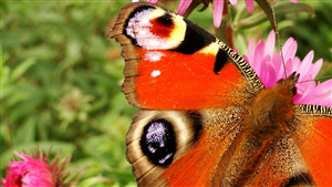Red Butterfly on Garden