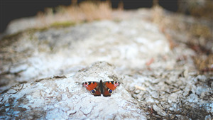 Red Butterfly on Rock 5K Wallpaper