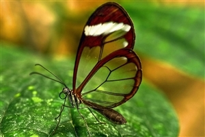 Transparent Butterfly HD Wallpaper