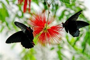 Two Black Butterfly on Flower