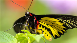 Yellow Butterfly Amazing Wallpaper