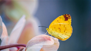 Yellow Butterfly Superb 5K Wallpaper