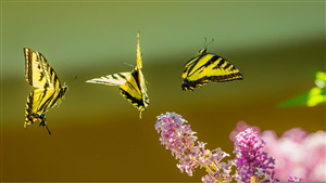 Yellow and Black Butterflies Fly Above Pink Flowers 4K Wallpaper