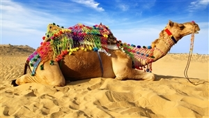 Animal Camel Seating on Sand