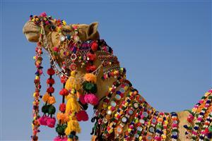 Beautiful Rajasthani Camel