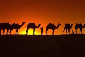 Camel During Sunset Photo