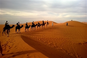 Camel Row in Desert HD Wallpaper