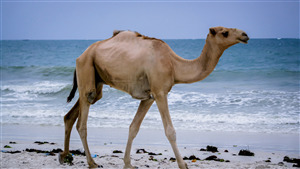 Camel Walking in Beach 4K Wallpaper