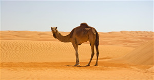 Camel in Namib Desert 4K Wallpaper
