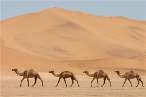 Four Desert Camel Animal Photo