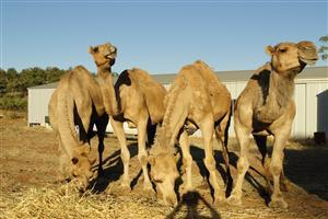 Group of Camels Eating