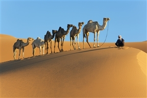 Six Camel in Desert Wallpaper