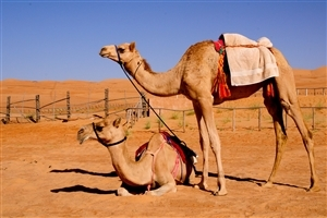 Two Camel in Desret Animal Wallpaper