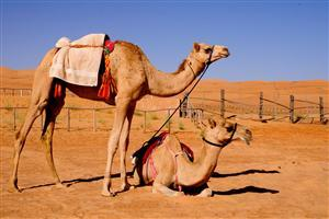 Two Camels Sitting in Desert Pics