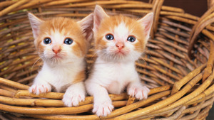 2 Kitten Cat in Basket